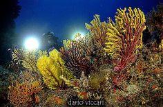 Tra le gorgonie di Scilla! #darvic #uwphotography #gorgonie #mediterraneansea #calabria #costaviola #scilla #bagnaracalabra #sea🌊 #scubadiving #diving #divingcenter #photographer #photosub #nikon #nikonitalia #nikon📷 #nikond90📷 #isotecnic #isotta