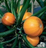 "Link is to a seed store page for smaller patio friendly veg plants. This pic is of a ""bush"" style pumpkin, yes BUSH not VINE.. perfect for containers or compact gardening. also the fruit are smaller and perfect for all those delicious single serving squash soup recipes on pinterest ;)"