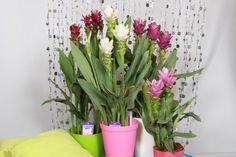 Kurkuma cserépben? Neveld fel szobanövényként!   Hobbikert Magazin Glass Vase, Plants, Home Decor, Turmeric, Decoration Home, Room Decor, Plant, Home Interior Design, Planets