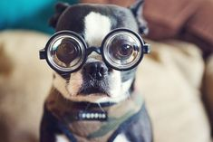 Boston Terrier w/ Glasses