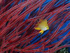 """Image result for fish in front of """"Red coral"""""""
