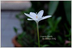 Cooperia Traubii , Rain Lily, Rain Lilies, บัวดิน Cooperia Traubii    ... บัวดิน Cooperia Traubii สีขาวมีกลิ่นหอมมาก กลิ่นคล้ายดอกมะลิ มีก้านดอกที่ยาวมาก บานช่วงเวลาใกล้ค่ำ ตอนบานใหม่ๆจะมีกลิ่นหอมแรงแต่กลิ่นจะค่อยๆจางลงในตอนเช้า บานวันเดียวก็โรยแล้ว