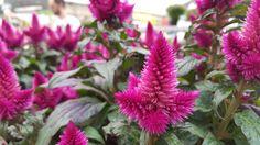 Purple lila flowers