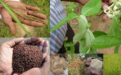 Medicinal Rice based Tribal Medicines for Diabetes Complications and Metabolic Disorders (TH Group-769) from Pankaj Oudhia's Medicinal Plant Database. Encyclopedia of Tribal Medicines by Pankaj Oudhia. #TribalMedicines #Ethnobotany