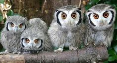 awesome owl family