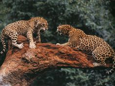 two leopards - Beautiful Wild Animals……….two leopards - Nature Animals, Animals And Pets, Cute Animals, Wild Animals, Animals Photos, Beautiful Cats, Animals Beautiful, Jaguar, Wild Animal Wallpaper
