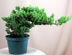 "Japanese Juniper Bonsai Starter Tree - 4"""" pot"