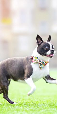 This dog is funny and will make you smile most of the day! A Boston Terrier is a fantastic companion Dog for elders and apartment dwellers. #bostonterrier #cutebostonterrier #funnybostonterrier #bostonterrierspuppy #bostonterriersfunny #dogsandpuppies #cutedogs #terrier #bostonterrierpuppy #terrierboston #cutebostonterrierpuppies Poodle Mix Puppies, Dogs And Puppies, Companion Dog, Looking To Buy, Make You Smile, Boston Terrier, Cute Dogs, Adoption, Funny