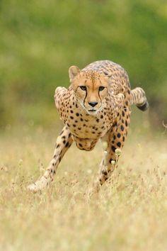 Cheetah Running - by Cincinnati Zoo