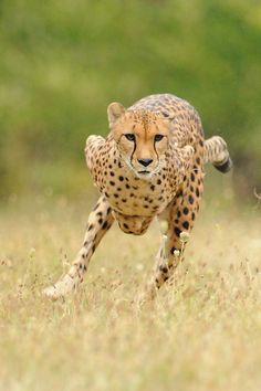 Cheetah Running - by Cincinnati Zoo. Cheetahs, the fastest land mammals in the world, are built for speed. They can reach running speeds of up to 70 mph, and they can accelerate from 0 to 60 mph in three seconds — faster than most cars. A single bound can cover 22 feet, thanks to a flexible spine that lets their front legs extend extra far.