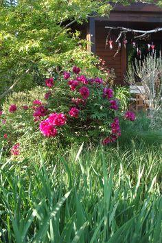 Paeonia suffriticosa Kamata Nishiki im Frühling 2017 Peonies, Terrace, Plants, Lawn And Garden, Seasons Of The Year, Balcony, Patio, Plant, Decks