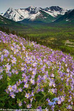 Beautiful Jacob's Ladder and Alpine Forget-Me-Not bloom along the Seward Highway  Chugach National Forest, Kenai Peninsula, Alaska