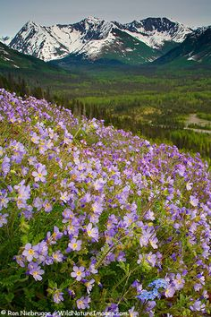 Beautiful Jacob's Ladder and Alpine Forget-Me-Not bloom along the Seward Highway  Chugach National Forest, Kenai Peninsula, Alaska