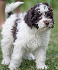 lagotto romagnolo / I WANT ONE