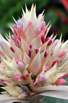 Aechmea fasciata  |  photo Alan Lamb