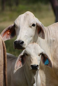 Just a cute brahman cow or two!