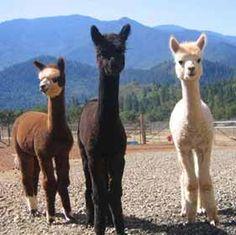 Love alpaca... why they look so cute?????