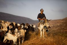 A Palestinian man shepherds his goats near the Tapuach Junction north of the Palestinian town Nablus in the West Bank. (Photo by Uriel Sinai/Getty Images) Goats, Couture, Life, Haute Couture, Goat