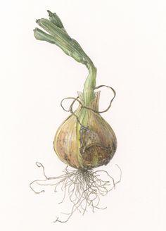 Small onion  Allium cepa L.   9 1/2 x 7 1/2     watercolor on paper