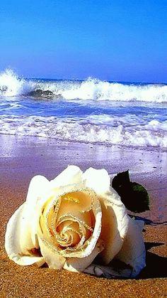 Diese Rose ist für Ronny. Er wurde in Bremen geboren und in Bremen beigesetzt.Seine wundervolle Stimme hat viele Menschen glücklich gemacht!