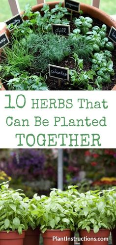 We've compiled a list of herbs that can be planted together so you don't have to keep guessing! These herbs thrive when planted together, not to mention that companion planting will also save you a ton of space! via tips vegetable companion planting Herbs