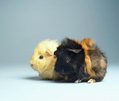 Everything You Need to Know About Pet Guinea Pigs