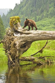 Grizzy bear cub on fallen tree, Great Bear Rainforest, BC.
