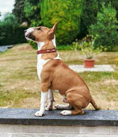 Regal Bullie❤❤ Mini Bull Terriers, Bull Terrier Puppy, English Bull Terriers, Baby Animals, Cute Animals, Laurdiy, Most Beautiful Dogs, Best Dog Breeds, Funny Dog Pictures
