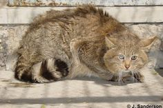 chinese mountain cat - Google Search