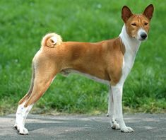 This is what our dog Bama looks like. It's a Basenji, Congo African barkless dog.