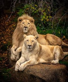 Lion and lioness (Panthera leo) Lion Images, Lion Pictures, Animal Pictures, Beautiful Creatures, Animals Beautiful, Cute Animals, Couple Lion, Es Pennywise, Lion Love