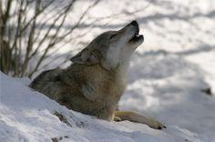 Visite du parc à loups du Gévaudan : le hurlement des loups