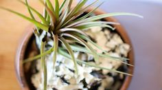 Air plants are slow growing plants, but you can give yours a boost that will assist your air plants in producing pups (babies) and colorful flowers. Air Plants Care, Plant Care, Hanging Air Plants, Indoor Plants, Succulent Gardening, Cacti And Succulents, Feng Shui Plants, Florida Gardening, Air Plant Terrarium