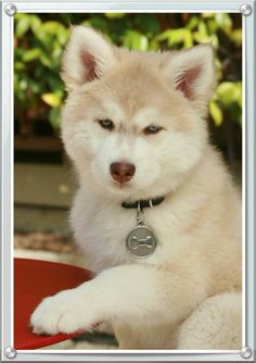 My Puppy Allegretto! Although we call her Retto. Siberean Husky! Green/Blue eyes. 10 weeks