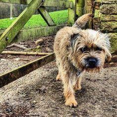 Is someone else coming? #alfborder #borderterrier #btposse #ultimateborder #dog…