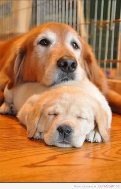 Golden Retriever and Pup Animals And Pets, Baby Animals, Funny Animals, Cute Animals, Cute Puppies, Cute Dogs, Dogs And Puppies, Doggies, Baby Puppies