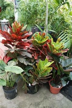 CROTON: Crotons are colorful tropical plants with either thin leaves or broad leaves, but typically bright colors like yellow, orange, red, etc.