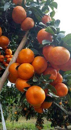 Oranges from the tree Fruit Plants, Fruit Garden, Edible Garden, Fruit Trees, Vegetable Garden, Fruits And Vegetables Pictures, Fruits Photos, Fruits And Veggies, Fruit Love