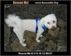 14-10-13-00437Aspen (female)  Maltese Mix  Age: Young Adult  Compatibility:Good with Most Dogs Personality:Average Temperament Health:Spayed  Aspen is a loving 16 lb. poodle mix, spayed and UTD on her vaccinations along with being microchipped AND she's housebroken. She is looking for a family nearby where she can watch you and or settle down on your lap. She becomes apprehensive when you get out of her sight. She doesn't do any damage but whines and misses the constant ...