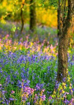 Superb Nature - llbwwb: Golden Bluebells (by. Woodland Flowers, Meadow Flowers, Wild Flowers, Beautiful Nature Spring, Beautiful Flowers, Beautiful Gardens, Beautiful Pictures, Prado, Wildwood Flower