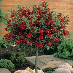 Alaska-Stechpalme / Ilex aquifolium Alaska
