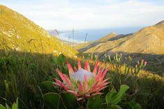 Protea... Kleinmond