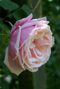 ~Rosa 'Blossomtime'  USA 1951. Large flowered climbing rose.  Clusters of blooms throughout the season.
