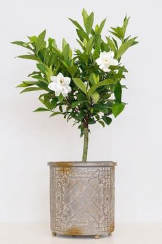 This Gardenia Tree has beautiful large and dense foliage and produces white fragrant, double gardenia flowers. Its glossy, broad, green leaves are a beautiful companion to the blossoms. Fast Growing Trees, Growing Plants, Easy To Grow Houseplants, Topiary Trees, Topiaries, Greenhouse Growing, Border Plants, Plant Health, Patio Plants