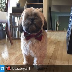 I can always count on Bentley to be in his Sunday best! Looking good buddy! As always#etsy #etsyshop #etsyseller #Repost @buzzbryan1 with @repostapp.