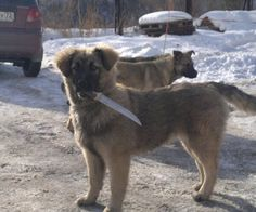 insolite chien couteau dangereux gueule