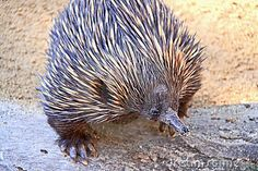 How adorable is he? This is an echidna, kind of like a porcupine, but actually really different.... native to Australia
