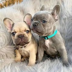 Super Cute Puppies, Cute Baby Dogs, Cute Little Puppies, Cute Dogs And Puppies, Cute Little Animals, Cute Funny Animals, Doggies, French Bulldog Puppies, French Bulldogs