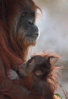 A Baby Orangutan nurses.