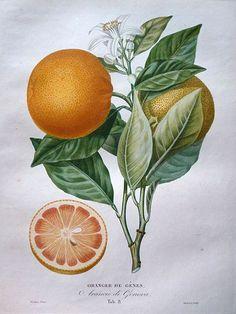 """Pierre Antoine Poiteau (1766-1854) - Plate 8, """"Arancio di Genova"""", from l'Histoire Naturelle des Orangers (1818-1822).  http://lisieux.c3rb.net/index.php?option=com_content=article=230:oranges-et-citrons=24:fond-local-et-patrimonial=47 Wikimedia."""